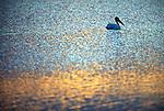 2504  Prairie Marsh - White Pelican (Pelecanus erythrorohynchos) South Dakota..#PRINT-2504.00