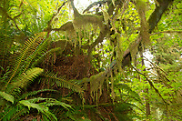 Ferns, epiphytes and bigleaf maples compete for resources in the temperate rainforest. Location: Quinault Rain Forest Trail, Olympic National Forest, Washington, US