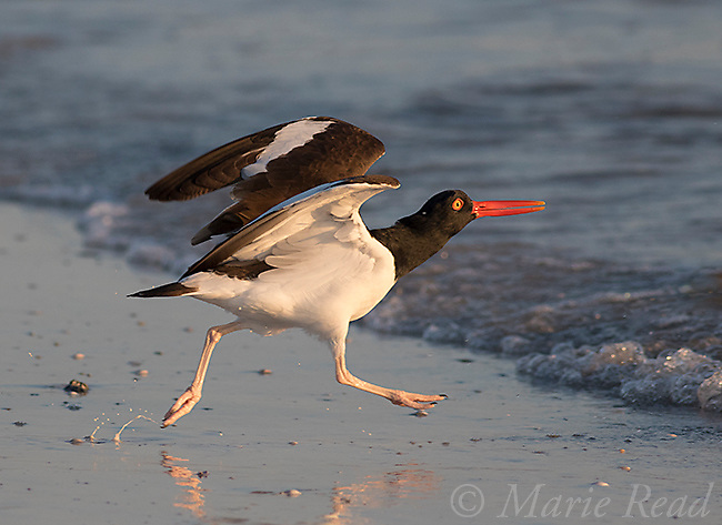 American Oystercatcher (Haematopus palliatus) runs along chasing gull (out of frame), Fort De Soto Park, Florida, USA
