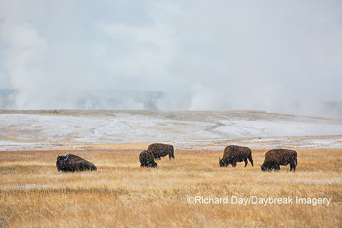 01985-02711 Bison (Bison bison) near Midway Geyser Basin Yellowstone National Park, WY