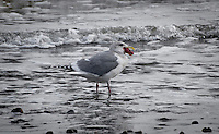 California seagull standing in the surf trying to swallow a starfish whole at Pt. Reyes National Seashore
