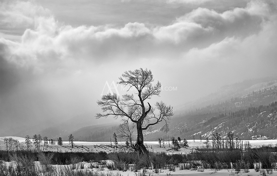 My favorite tree in the Lamar Valley.
