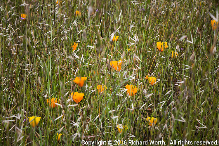 California poppies are surrounded by wild oats along a trail at Coyote HIlls Regional Park.
