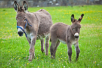Donkey mare and foal in Connemara, County Galway, Ireland