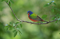Painted Bunting (Passerina ciris), adult male perched, Hill Country, Texas, USA