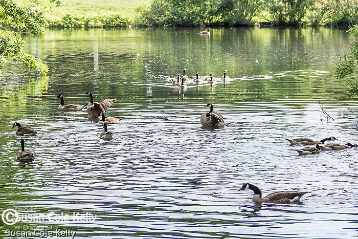 Canada geese  on the Muddy River in The Back Bay Fens, Boston, Massachusetts, USA