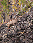 A bighorn sheep ram climbing up a talus slope in western montana