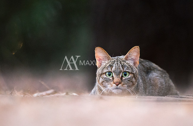 This African wildcat was hanging out inside one of our camps in Kruger.