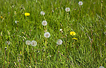 Dandelion plants, Taraxacum officinale, in flower and with seed heads growing in grass meadow, Suffolk, England