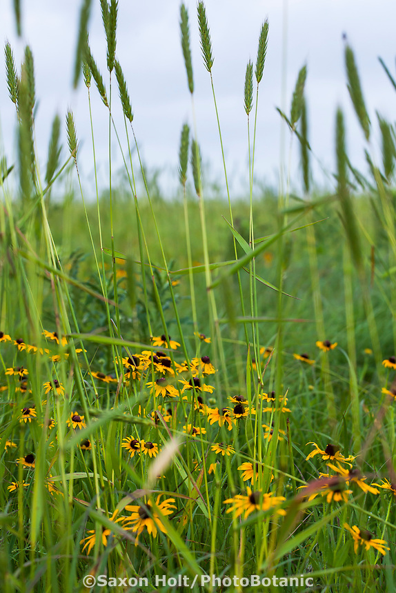 Blackeyed Susans wildflowers (Rudbeckia hirta) among Wild Rye grass Elymus virginicus in Tallgrass Prairie Preserve, Oklahoma