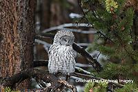 01128-00201 Great Gray Owl (Strix nebulosa) Yellowstone National Park, WY