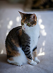 Mary Christmas, the calico cat, poses for a portrait on Monday, September 7, 2015 in her home in Dixon, California.  Photo/Victoria Sheridan
