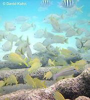 0113-1202  School of French Grunts (Haemulon flavolineatum) and Blue Striped Grunts (Haemulon sciurus) in Caribbean Reef  © David Kuhn/Dwight Kuhn Photography