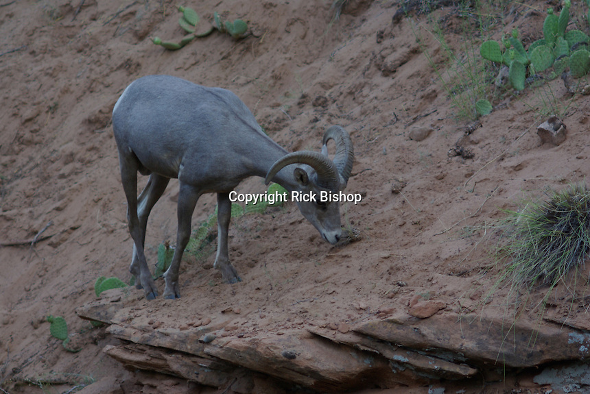 Desert Bighorn Sheep Ram seen in Zion National Park, on a summer day.