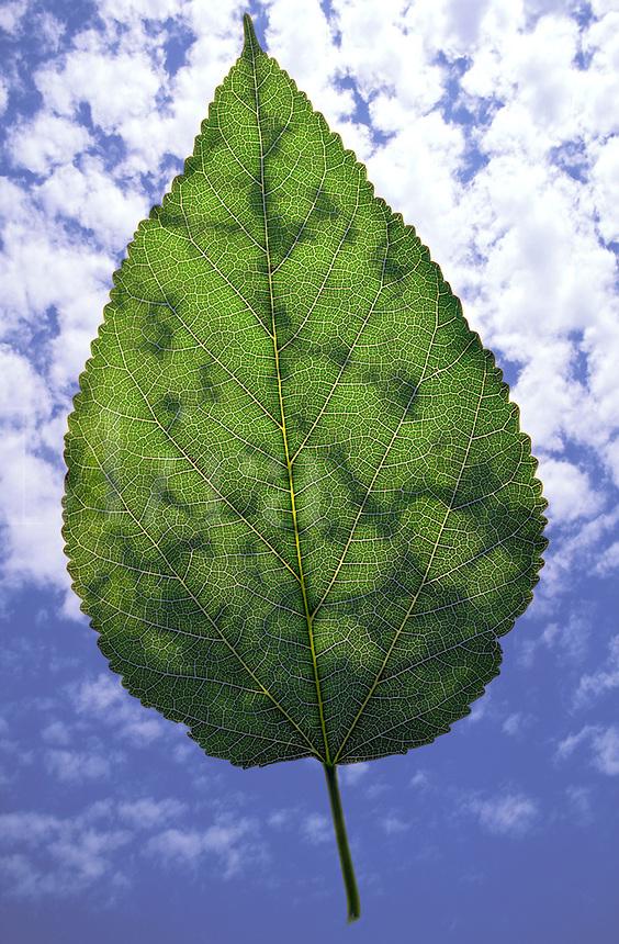 Sinle green leaf against a cloudy sk
