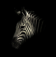 BNPS.co.uk (01202 558833)<br /> Pic: AlexTeuscher/BNPS<br /> <br /> ****Please use full byline****<br /> <br /> Zebra.<br /> <br /> These zoo animals take on an altogether more sinister look after posing for a set of moody black and white portraits.<br /> <br /> Alex Teuscher has brought out the dark side in a range of exotic creatures including tigers, rhinos and elephants with his artistic project which took two years to complete.<br /> <br /> More than 200 photographs were taken to get the perfect set, which was snapped at zoos in Singapore and Switzerland.<br /> <br /> Alex's subjects also include a baboon, a grey crown crane, a green tree python and a Malay fish owl.<br /> <br /> Amazingly Alex, 31, from Geneva, Switzerland, only got into photography three years ago when his father gave him an old SLR camera.