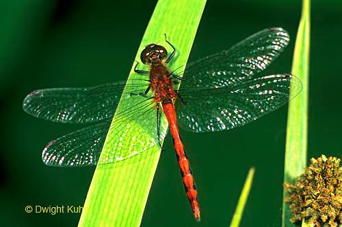 1O05-004a  Skimmer Dragonfly - Ruby Meadowhawk Male - Sympetrum rubicundulum