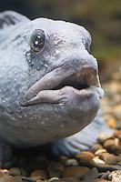 Gestreifter Seewolf, Steinbeißer, Steinbeisser, Katfisch, Portrait, Porträt, Anarhichas lupus, Atlantic wolffish, seawolf, Atlantic catfish, ocean catfish, devil fish, wolf eel, sea cat