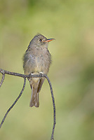 570500002 a wild greater pewee contopus pertinax flutters its wings while sitting on a branch in rosy canyon campground mount lemmon tucson arizona united states