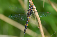 Common Baskettail (Epitheca cynosura) Dragonfly - Teneral Male, Silver Lake Preserve, West Harrison, Westchester County, New York