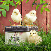 Xavier, EASTER, OSTERN, PASCUA, photos+++++,SPCHCHICKS54,#e#, EVERYDAY ,chicken