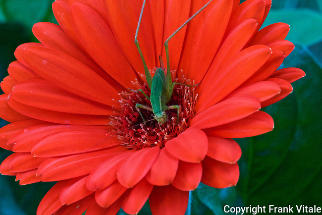 Grasshopper peering out of a red Gerbera Daisy