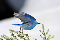 Male Mountain Bluebird (Sialia currucoides).  Western U.S., May.