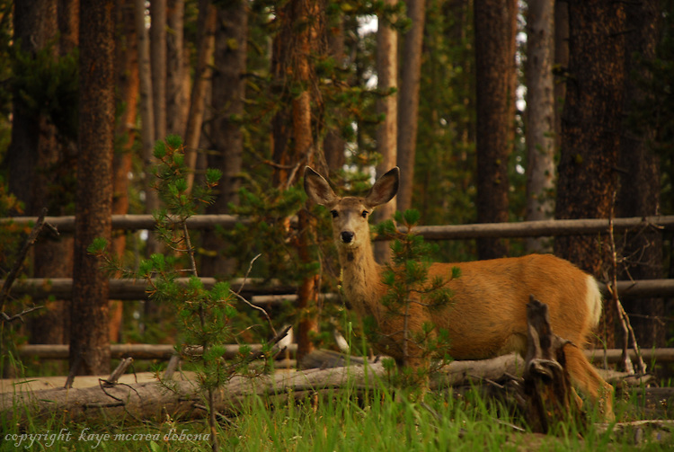 A female deer, one of Yellowstone National Park's inhabitant