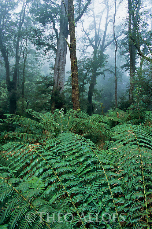 Australia, Victoria, Great Ocean Road, temperate rain forest in fog in Melba Gully State Park, Otway Ranges, fern trees in foreground
