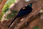 Eastern Goolden Breasted Starling, Cosmopsarus regius megnificus, East Kenya.Africa....