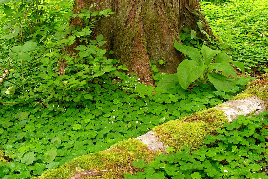 Green ground cover and down log at base of Western Red Cedar, Maple Glade Rain Forest Trail, Quinault Rain Forest, Olympic National Park, Olympic Peninsula, Grays Harbor County, Washington, USA