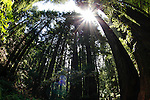 Giant Redwoods in Muir Woods National Park in Mill Valley, California. (Photo by Brian Garfinkel)