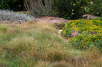 Bouteloua gracilis, Blue Grama Grass meadow in Crescent Farm, sustainable demonstation garden; Los Angeles County Arboretum and Botanic Garden