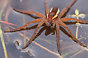 Raft Spider female {Dolomedes fimbriatus} on Heathland pool, Surrey, UK. October.