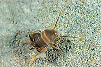 Ameisengrille, Ameisen-Grille, Myrmecophilus acervorum, ant-loving cricket, ant cricket, myrmecophilous cricket, Ameisengrillen, Myrmecophilidae, ant-loving crickets, myrmecophilous crickets