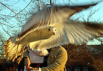 BABYLON-JANUARY 27, 2006: A Sea Gull in flight while vying for bread thrown by a visitor to Argyle Park in Babylon on Friday January 27, 2006. (Newsday Photo / Jim Peppler).
