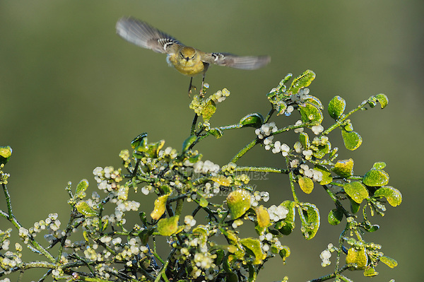 Pine Warbler (Dendroica pinus), female taking off from Christmas mistletoe (Phoradendron tomentosum), Dinero, Lake Corpus Christi, South Texas, USA