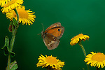 Gatekeeper Butterfly, Pyronia tithonus, in flight over yellow flowers, flying, wings, high speed photographic  flash technique.United Kingdom....