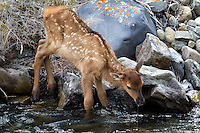 Elk calf at stream.  Nice and sharp! Could use a little more space to move, but nicely done. Love the lichen repeating the spots :)