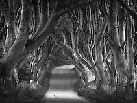 These beech trees in Northern Ireland are about 400 years old and are referred to as Dark Hedges.  They were originally planted along an entry to a large mansion.  The mansion is now a the club house at Gracehill Golf Course and the trees are a major (free) tourist attraction.  Some of the trees are starting to die and get cut down which is the cause of some large spaces of light shining on the road.  Still this is a very beautiful and surreal road, especially at dawn and dusk.
