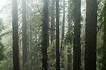 Coast Redwood (Sequoia sempervirens) trees in fog, Pescadero Creek County Park, California