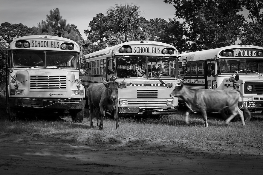 Cows roam free around seldom used old school buses in Hog Hammock on Sapelo Island.