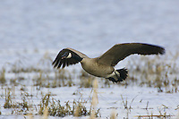 Canada Goose flying over a marshy lake
