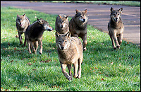 Pack of European wolves return to the Longleat woodland.