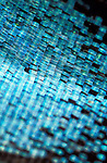 Butterfly Wing Scales, close up, macro, Papilio Paris, Blue, photographic technique....