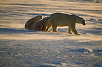 The drifting snow is back lit by the sun as a polar bear mother begins to walk away from her two resting cubs.<br /> Churchill, Manitoba, Canada