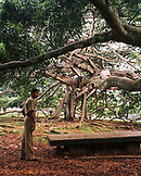 SRI LANKA, Asia, full length of a mid adult man standing under fig tree at Peradeniya
