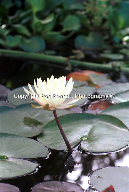 White water lilies pool Nympheas flowering aquatic plant, Dicotyledoneae, Archichlamydeae, flowering plants bear petals separately, Ranales, petals on the stem, tropical water lilies, Lotus, Nelumbo, Water lily family, Hardies,  California Fine Art Photography by Ron Bennett,