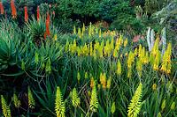 Blooming Aloe Vera.Kiahuna Plantation Gardens. Poipu, Kauai, Hawaii.