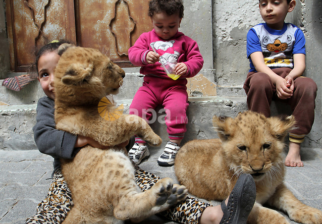 The grandchildren of Palestinian man Saad al-Jamal, play with two lion cubs outside their family house in the Rafah refugee camp in the southern Gaza Strip, on March 19, 2015. Al-Jamal has eventually achieved his dream of raising lions at home after acquiring the two cubs, whose parents are believed to have been smuggled into Gaza through a tunnel along the border with Egypt nearly three years ago. His family have named the female cub Mona, an Arab name, while the male lion was named Alex. Photo by Abed Rahim Khatib